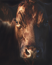 Beautiful brown cow is looking at me