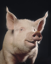 Portrait of a cheeky pig looking at the camera with a black background